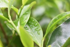 The Goodness of Green Tea