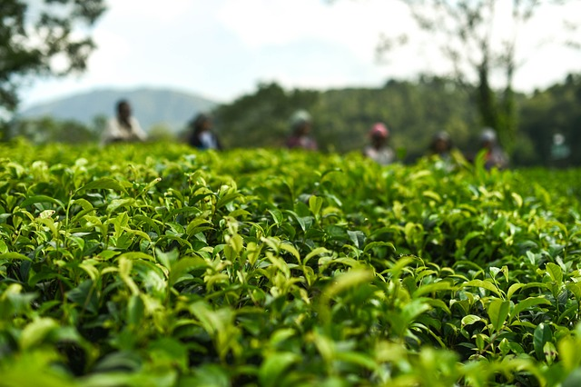 Interesting Facts About Oolong and Black Tea