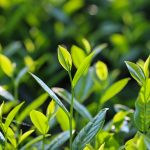 Wu Long Tea Or Green Tea - Know Which One is More Effective