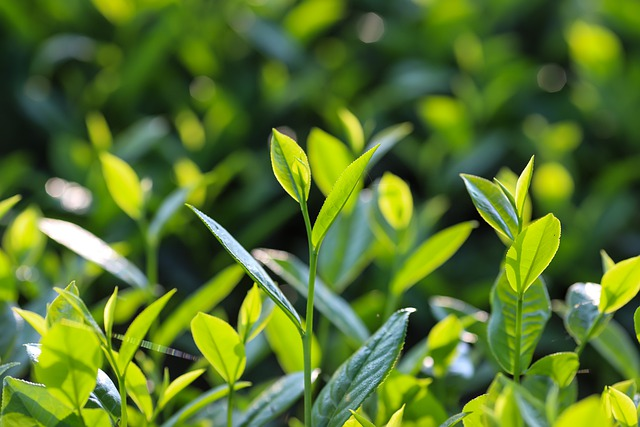 Wu Long Tea Or Green Tea – Know Which One is More Effective